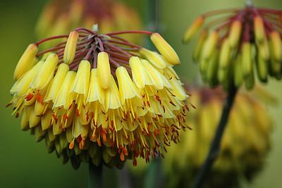 flowers at Huntington gardens